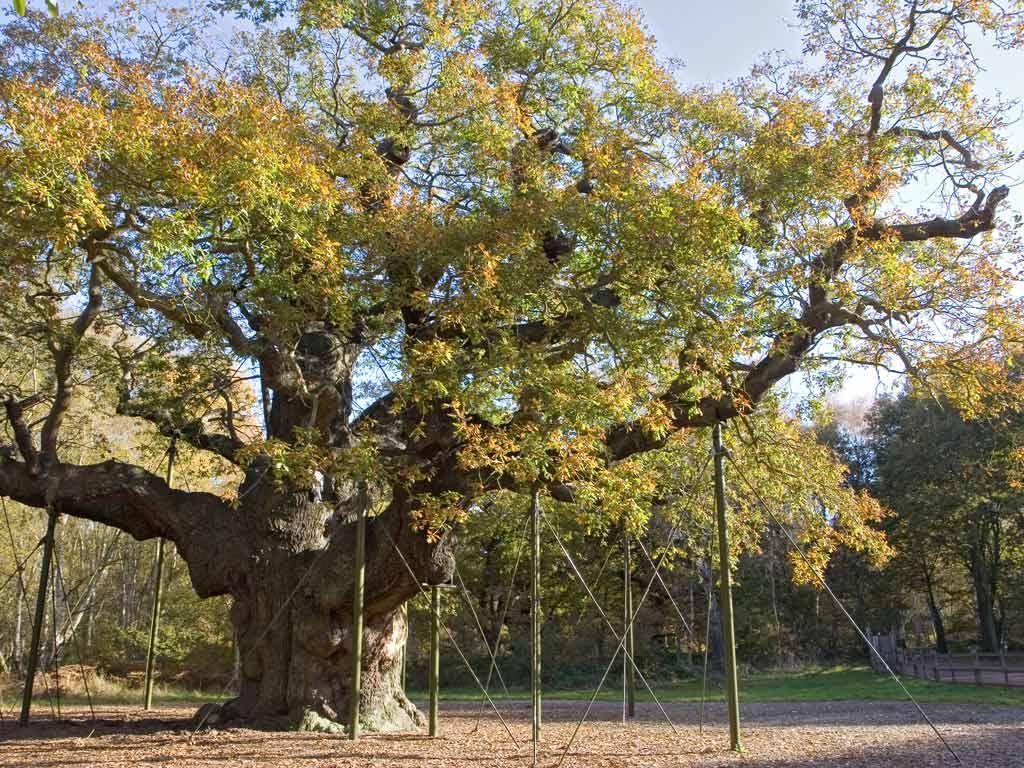 Free Wallpaper Giant Tree Nature Desktop
