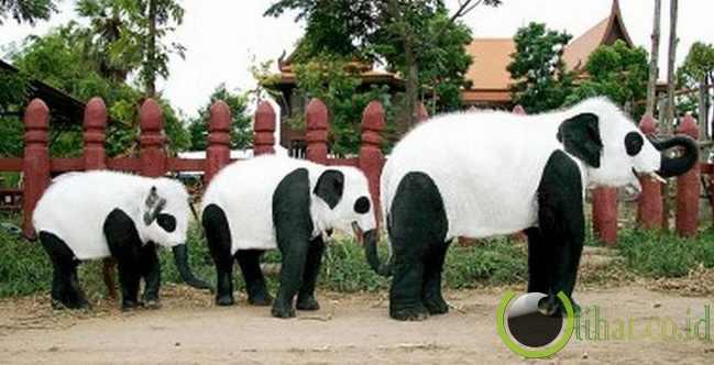 Panda Atau Gajah