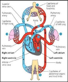 Struktur, Denyut Tekanan Darah dan Cara Kerja Jantung Pada Sistem Peredaran Darah Manusia