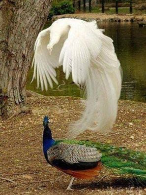 Peacock Experiencing an Out-of-Body Experience!