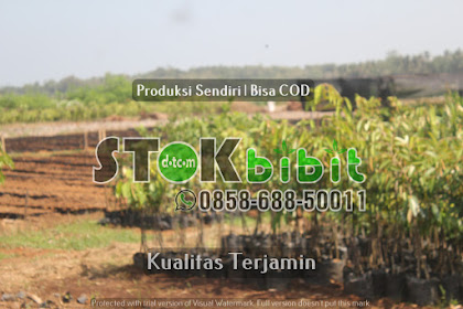 Durian Musangking Kaki 4 Berkualitas Unggul               Grosir