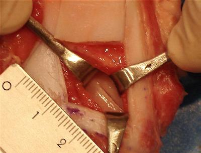 Teknik Operasi Laringotomy pada Hewan (Bedah Thoraks)