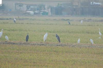 Esplugabous (Bubulcus ibis), Marinet blanc (Egretta garzetta), Agró blanc (Egretta alba) i Bernat pescaire (Ardea cinerea)