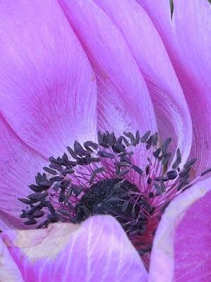 in mijn tuintje - anemoon
