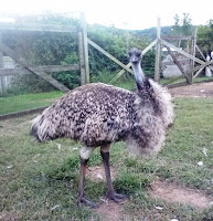 Adult Emu