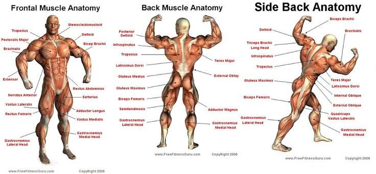 yeazfitcenter: Muscle Groups