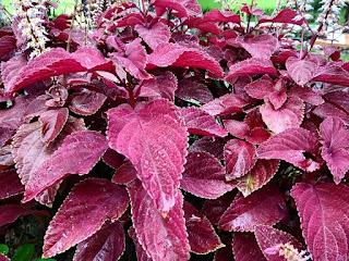 khasiat dan manfaat daun jawer kotok untuk kesehatan