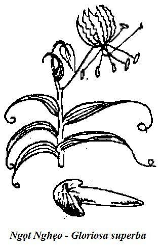 Hình vẽ Ngọt Nghẻo (Ngọt Nghẹo) - Gloriosa superba - Nguyên liệu làm thuốc Có Chất Độc