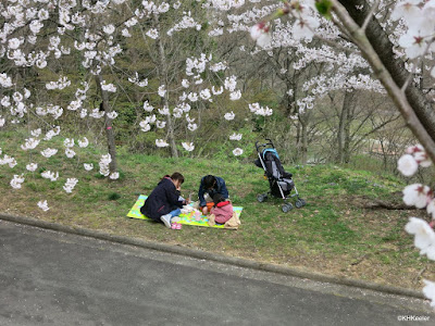 picnic under the cherry blossoms, Tendo, Japan