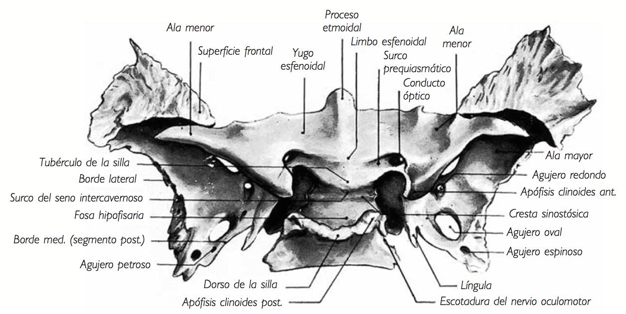 Morfofuncin Cabeza y cuello Esfenoides