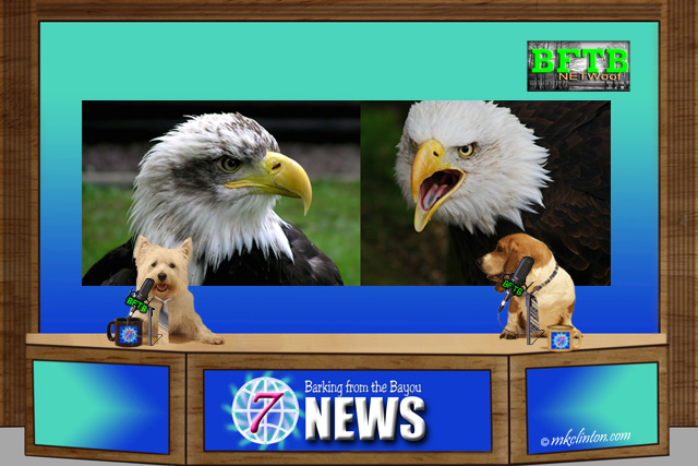 BFTB NETWoof News on eagle fight and rescue