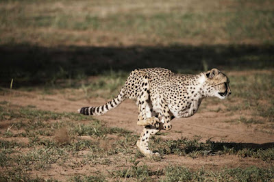 Saving Namibia's cheetahs: another female pioneer to the rescue