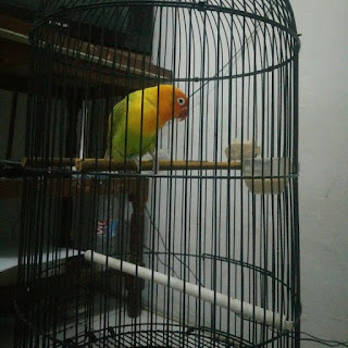 Tanda-tanda Burung Lovebird Birahi