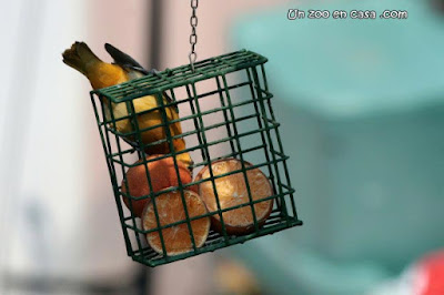 Oropéndola de Baltimore (Icterus galbula) comiendo naranja