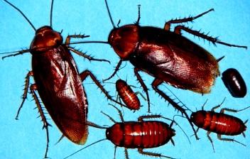 Imagen de cucarachas de menor a mayor