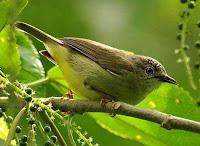 Burung Peor/Opior kalimantan (Oculocincta squamifrons)