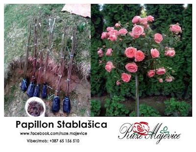 Papillon ruža