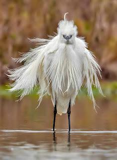Foto em fundo desfocado de natureza, em tons de marrom com nuances verdes. Ao centro, uma garça de porte médio, em pé, de frente, branca, esguia e elegante. A plumagem densa, como um pequeno cocar irregular, recobre a cabeça arredondada, onde, uma crista  desponta ereta e curva, uns 4cms ao alto. Os olhos acinzentados redondos fitam a câmera, o bico curto é levemente curvo no mesmo tom dos olhos. Partindo da altura do pescoço, penas molhadas formam um manto longo em pontas eriçadas ao redor do corpo, acima da superfície. As patas finas, longas e negras estão mergulhadas na água espelhada marrom que reflete a silhueta da exótica garça.