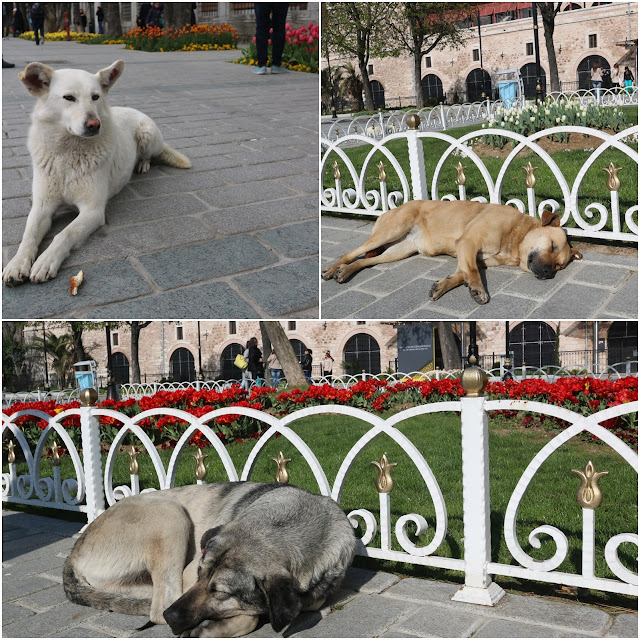 Healthy street dogs are well-fed and vaccinated by government and NGOs at Hippodrome in Istanbul, Turkey