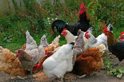 Aves, gallinas, pollos, gallos