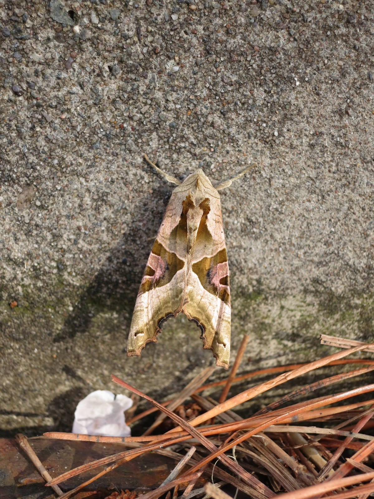 Angle Shades Moth on side of kerb with fallen pine needles