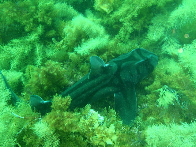 Port Jackson Shark in a Kelp Forest
