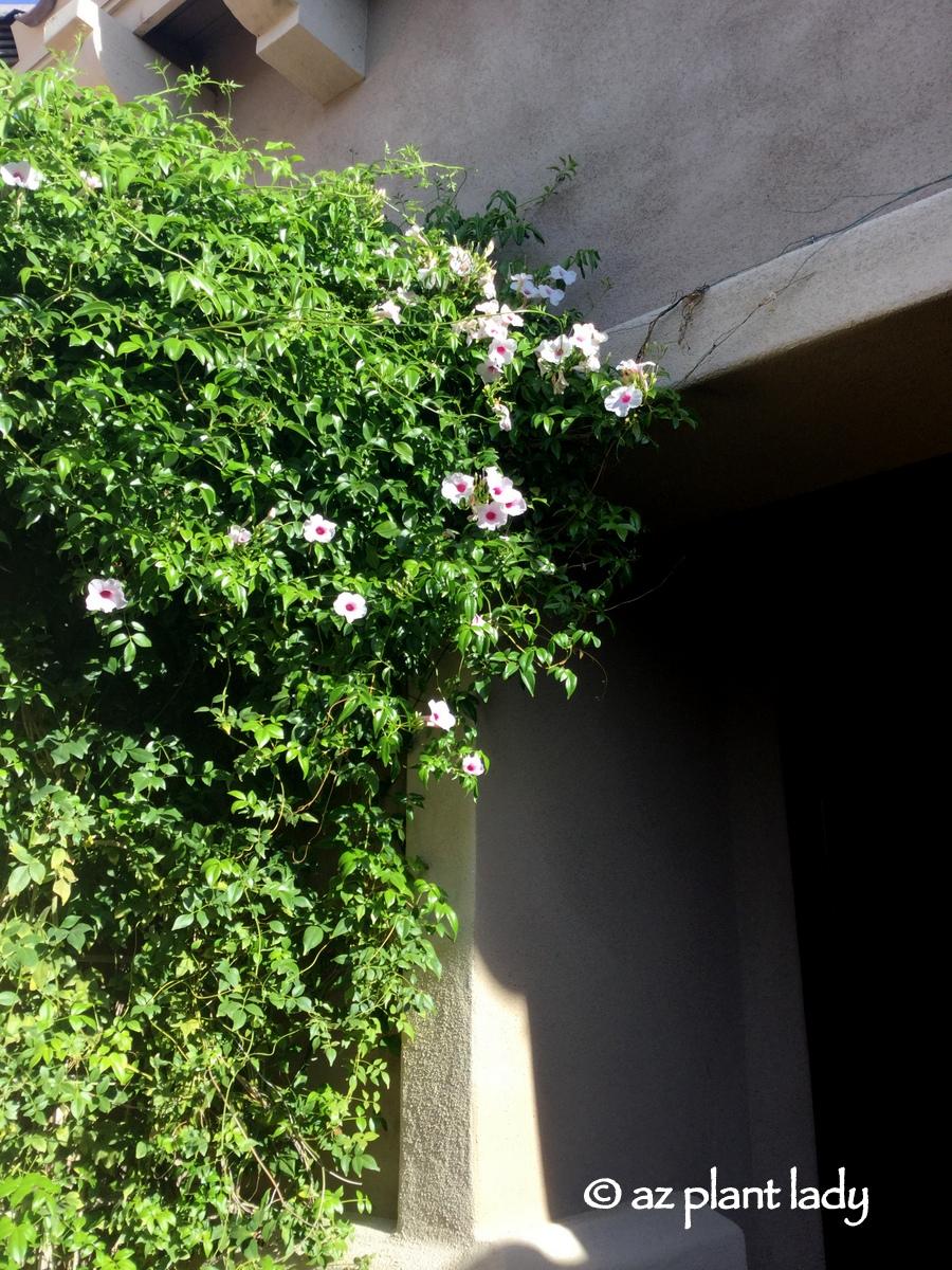 Plant Covered Pergola