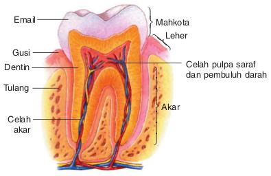 Organ-organ Pencernaan Pada Manusia dan Fungsinya