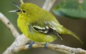 4 Jenis Pakan Burung Sirtu Agar Cepat Gacor Paling Lengkap