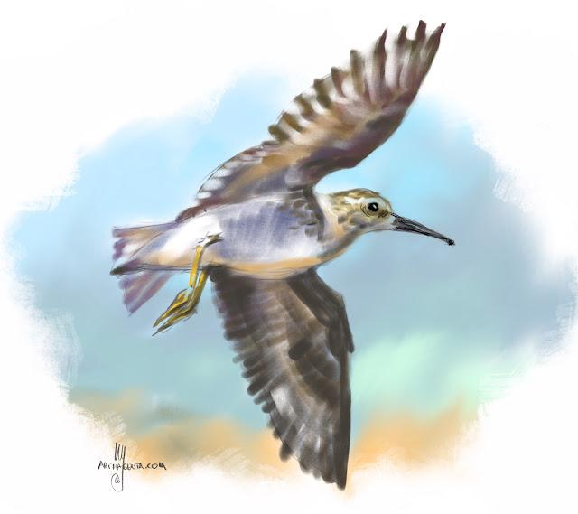 Pectoral sandpiper bird painting by Artmagenta