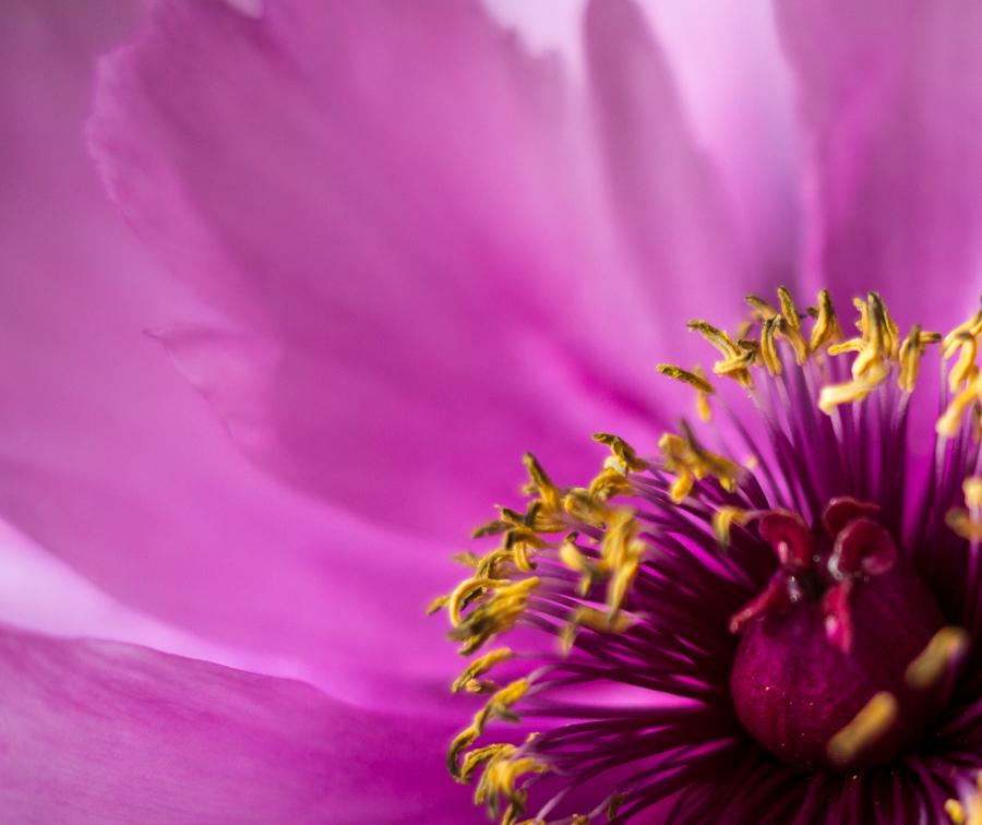 "Blog + Fotografie by it's me!  fim.works  Bunt ist die Welt  Blumen  Makro rosa-fliederfarbene Bauernpfingstrose  "" ""Blog + Fotografie by it's me! | fim.works | Bunt ist die Welt | Blumen | Blätter einer rosa-fliederfarbenen Bauernpfingstrose"
