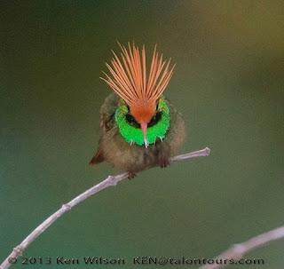 Foto em fundo desfocado marrom esverdeado. Ao centro, um Rufous-crested Coquette, pássaro de pequeno porte, de frente, pousado em um fino galho seco. Plumagem densa marrom no corpo, verde-limão brilhante ao redor do pescoço em forma de babador, nos olhos, uma faixa preta em forma de máscara, bico rosado médio, cabeça laranja intenso e no alto, em tom mais claro penas compridas que remetem a um cocar. No canto inferior direito, parte de outro galho seco. No rodapé lê-se: 2013 Ken Wilson KEN@talontours.com