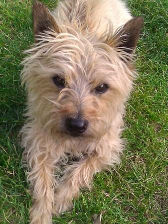 Nationwide Craigslist Search >> Col. Potter Cairn Rescue Network: LOST Cairn Terrier, blonde male (Hampden Heights East Denver )
