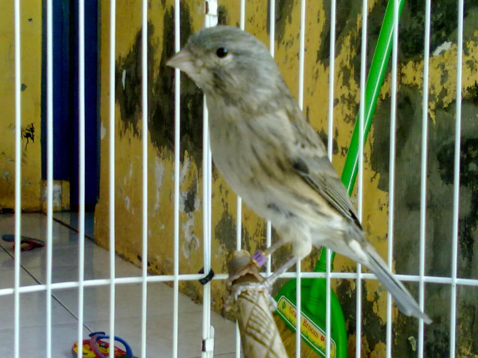 Purwadi, m.hum eko priyo purnomo, sip —————————————————… Kumpulan Foto Burung Kenari Lokal Jantan ~ FOTO BURUNG KICAU