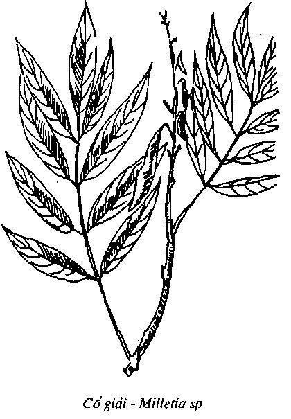 Hình vẽ Cổ Giải - Milletia sp - Nguyên liệu làm thuốc Có Chất Độc