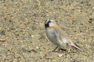 Blanford's Snowfinch