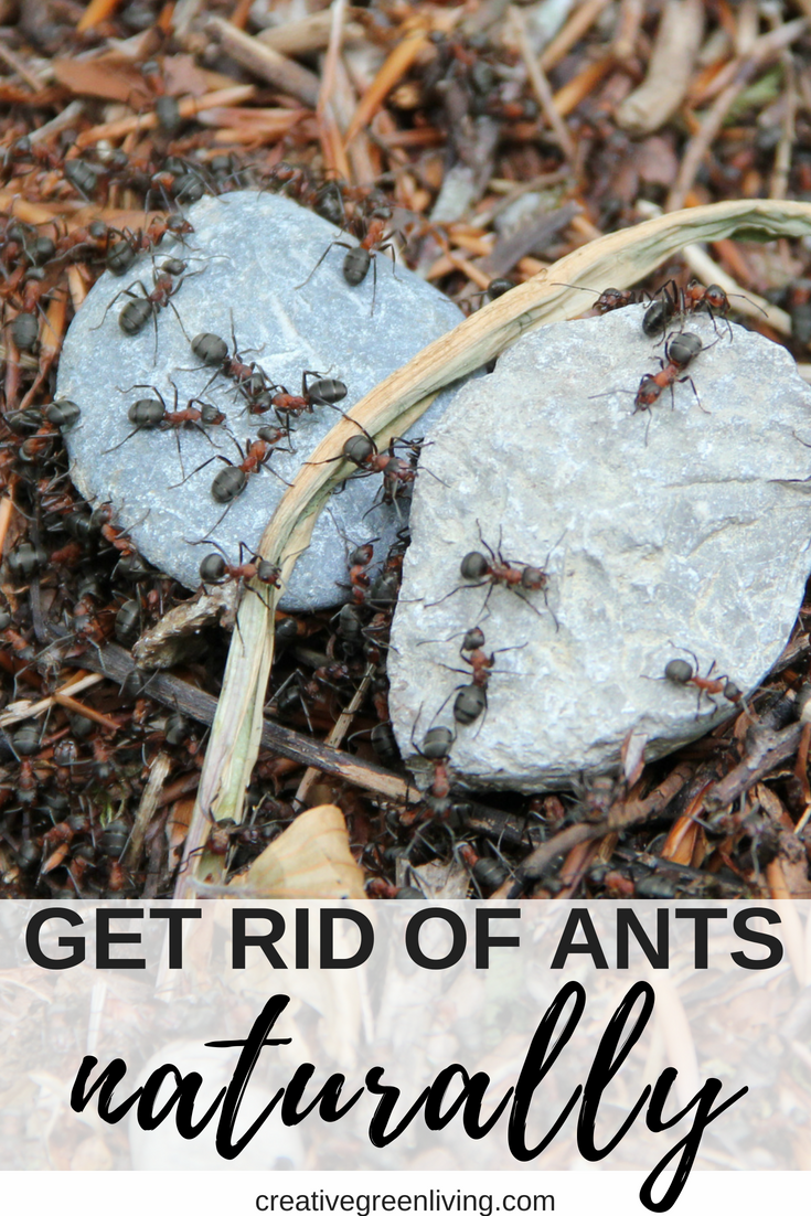 If you have an ant problem in your home, skip the ant killer. This easy, non-toxic method to get rid of ants really works using natural essential oils. #ants #pestcontrol #essentialoils #antrepellant