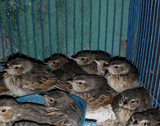 Penangkaran Burung Branjangan -  Pemisahan dan Perawatan Piyikan Burung Branjangan
