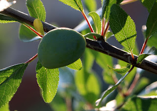 One of the few plums in the orchard