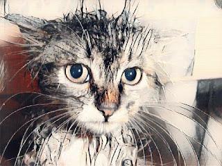 Gato después de tomar un baño