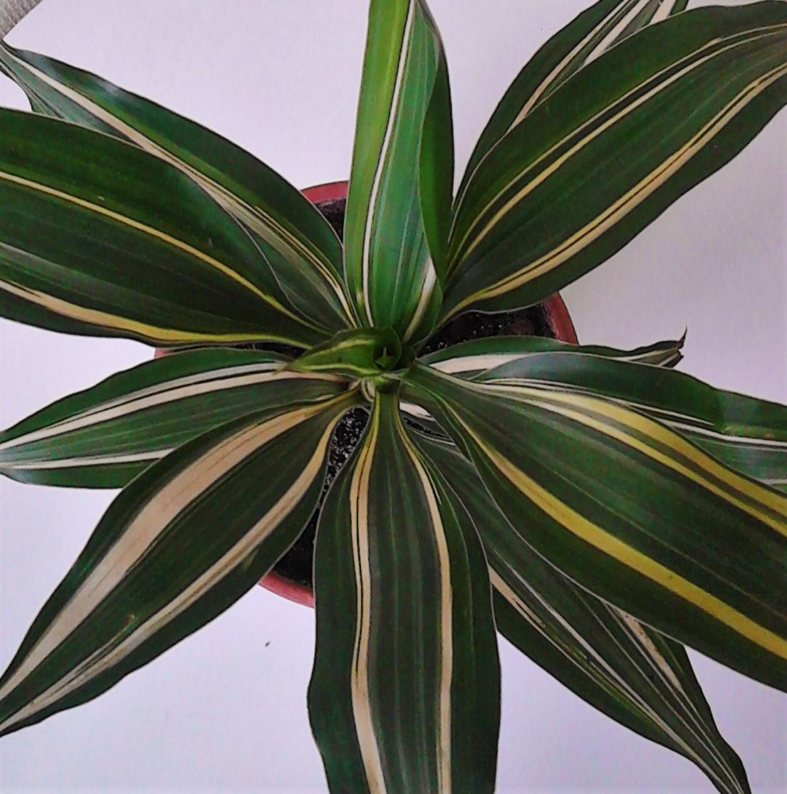 La ventana de javiruli plantas de interior 36 bamb de - Plantas del interior ...