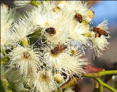 Έγινε παραγγελία ευκαλύπτων Melliodora και θα ακολουθήσουν κι άλλες παραγγελίες μελισσοκομικών δέντρων