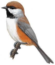 Poecile hudsonicus