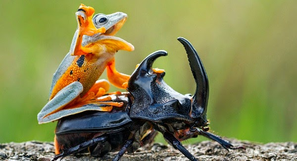 Watch this Cowboy Frog have fun riding a Beetle via geniushowto.blogspot.com the flying frog has time of his life while riding the beetle like a cowboy