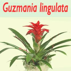 Jenis Tanaman Guzmania lingulata Untuk Mengurangi Polusi Di dalam ruangan rumah