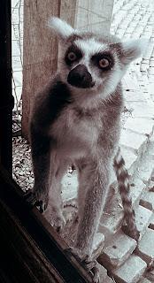 Lemur through the window