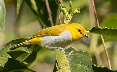 Mengenal Dekat Jenis Dari Burung Kacamata Kepala Emas