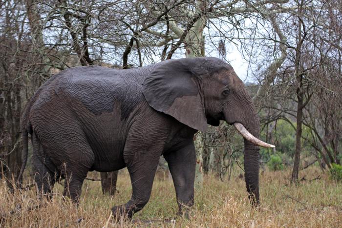 Elefant in Phinda, Südafrika
