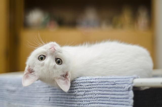 Scodinzolo Le 10 Migliori Razze Di Gatti Parte Seconda