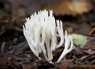 jamur karang